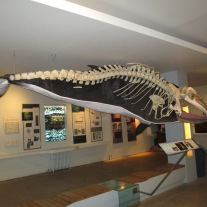Inside the whale museum
