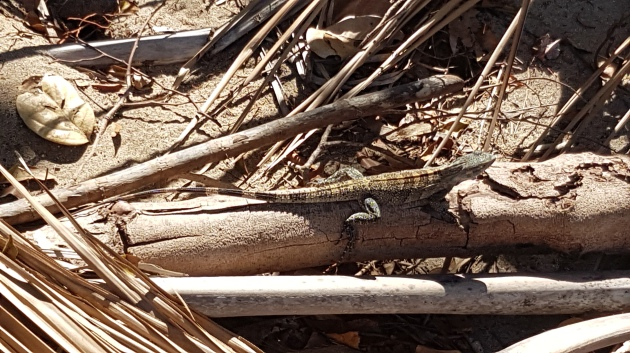 Lizard sunning on branches on the beach